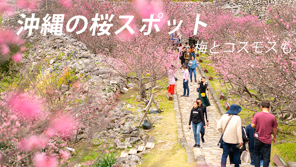 沖縄の桜と梅とコスモス 見頃