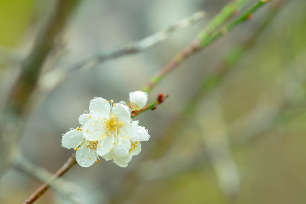 オーシッタイの梅の花