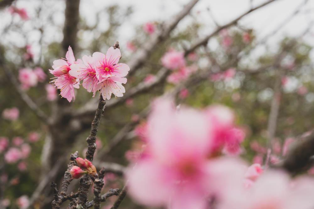 八重瀬公園の桜 開花状況
