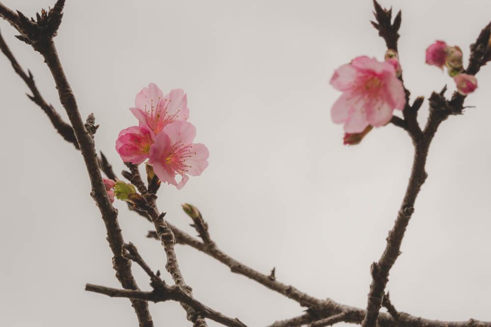 八重瀬公園の桜の評価