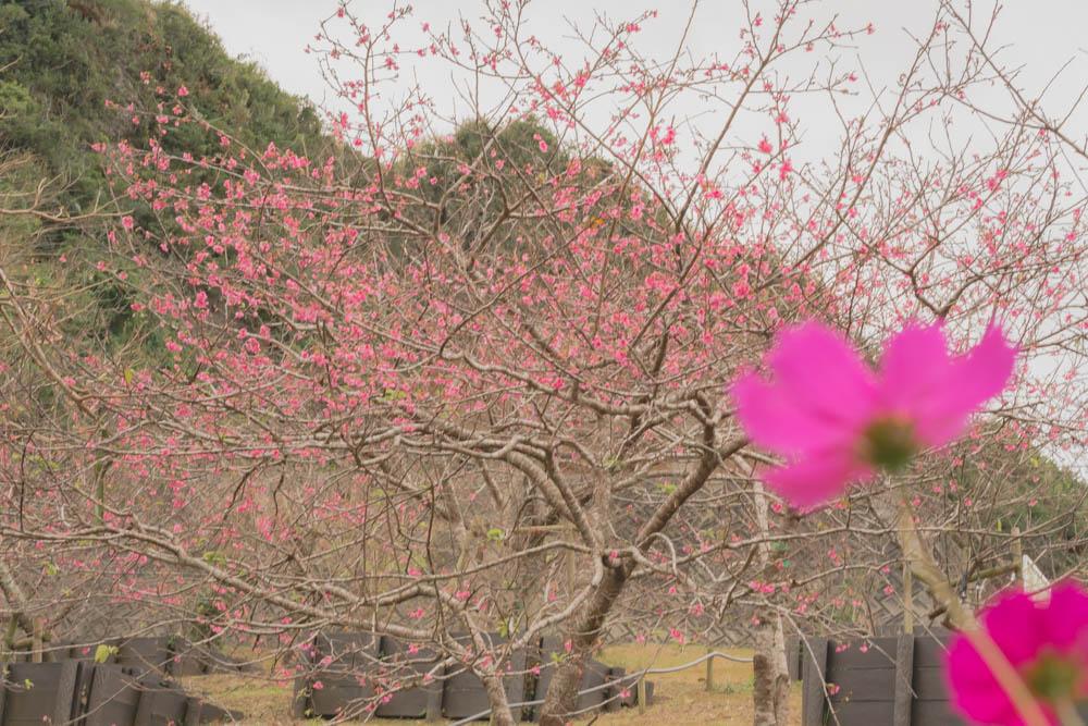 八重瀬公園の桜とコスモス