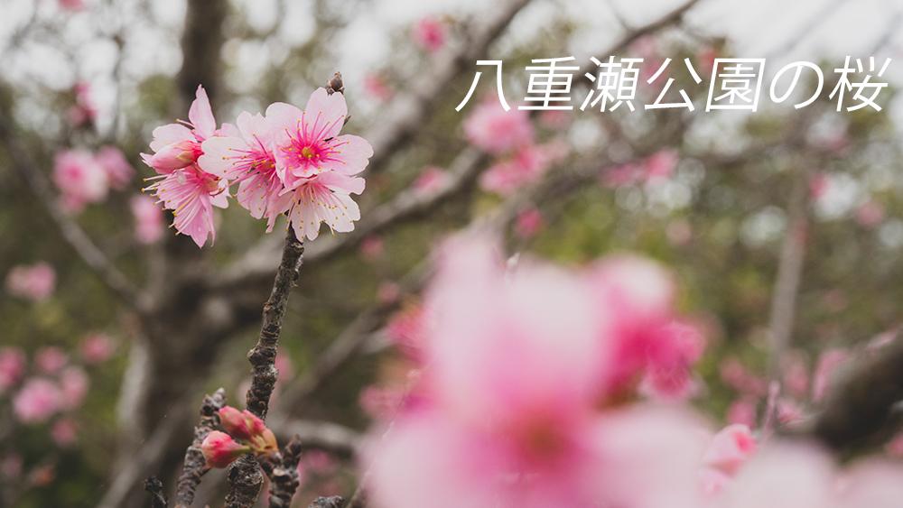 八重瀬公園 沖縄の桜スポット