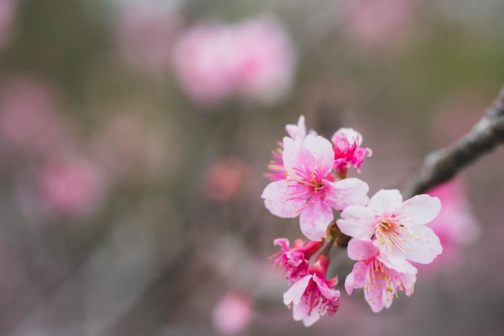 八重瀬公園の桜 近景