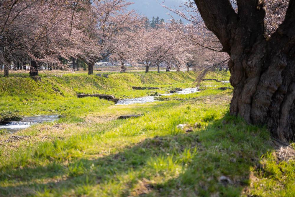 観音寺川の桜を評価