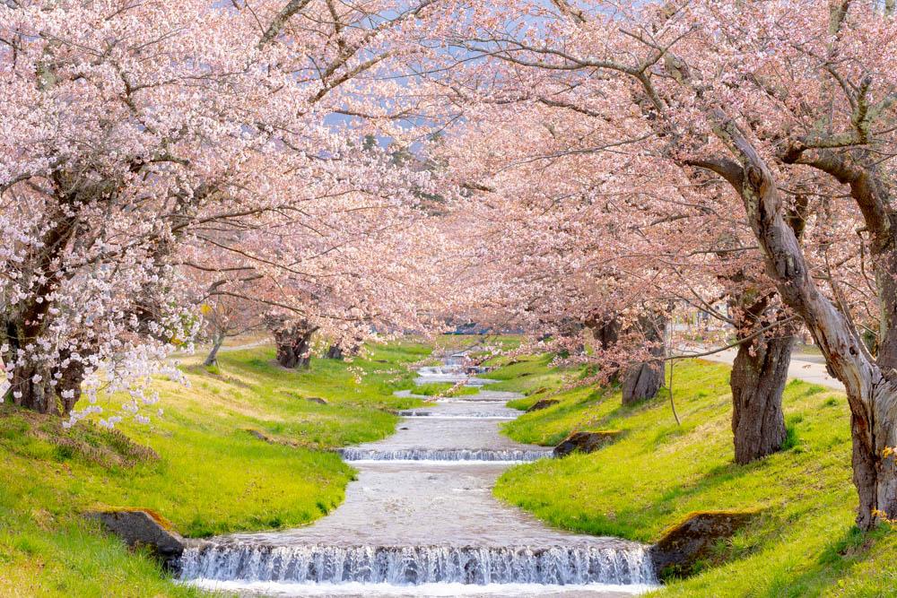 観音寺川の桜 見頃はいつ?【開花状況】