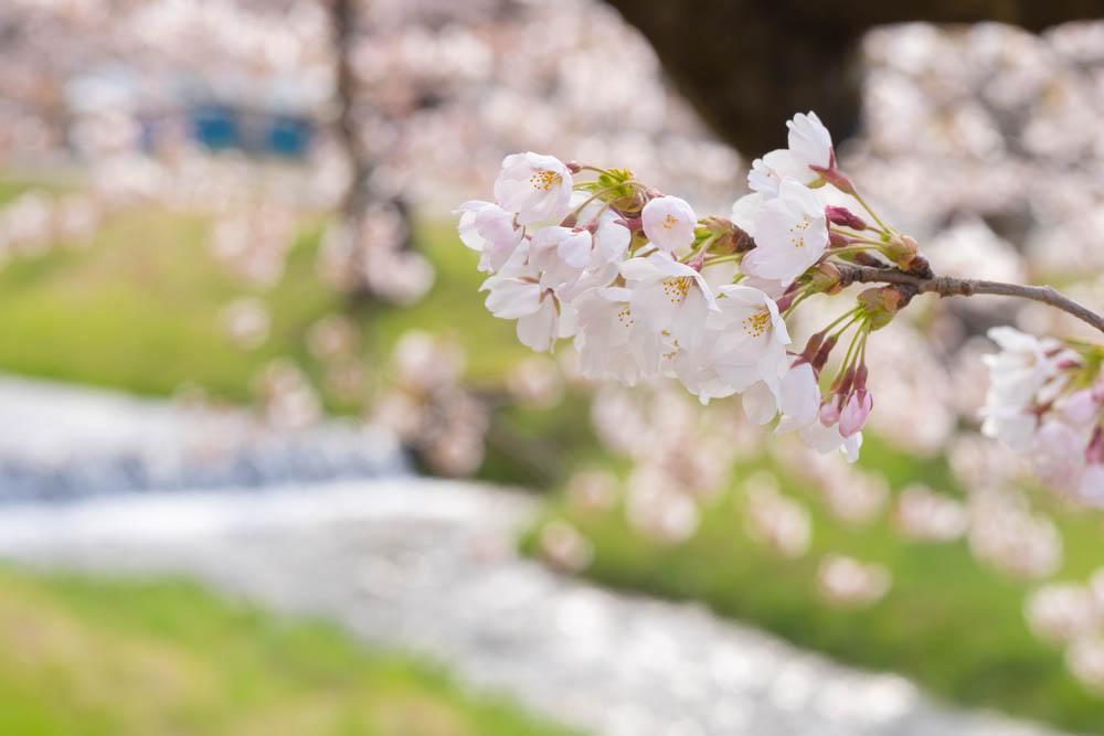 観音寺川の桜 特徴