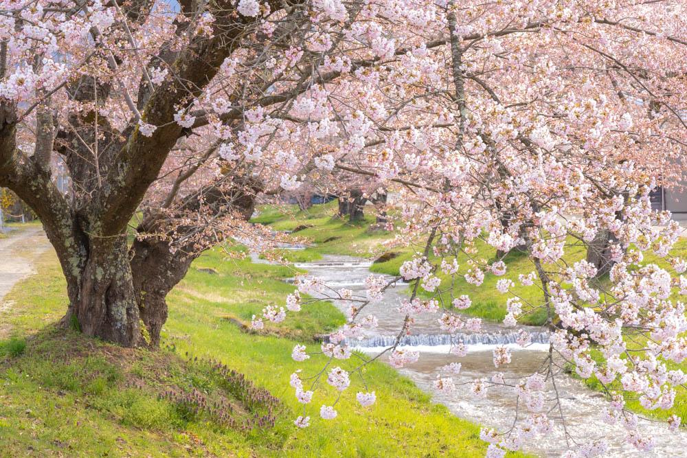 観音寺川の桜 撮影のポイント