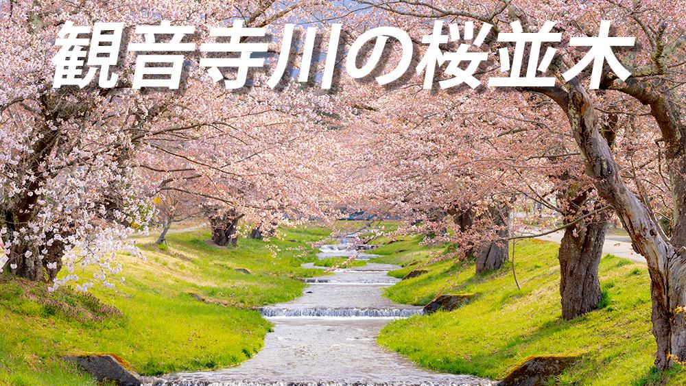観音寺川の桜並木 見頃と開花状況