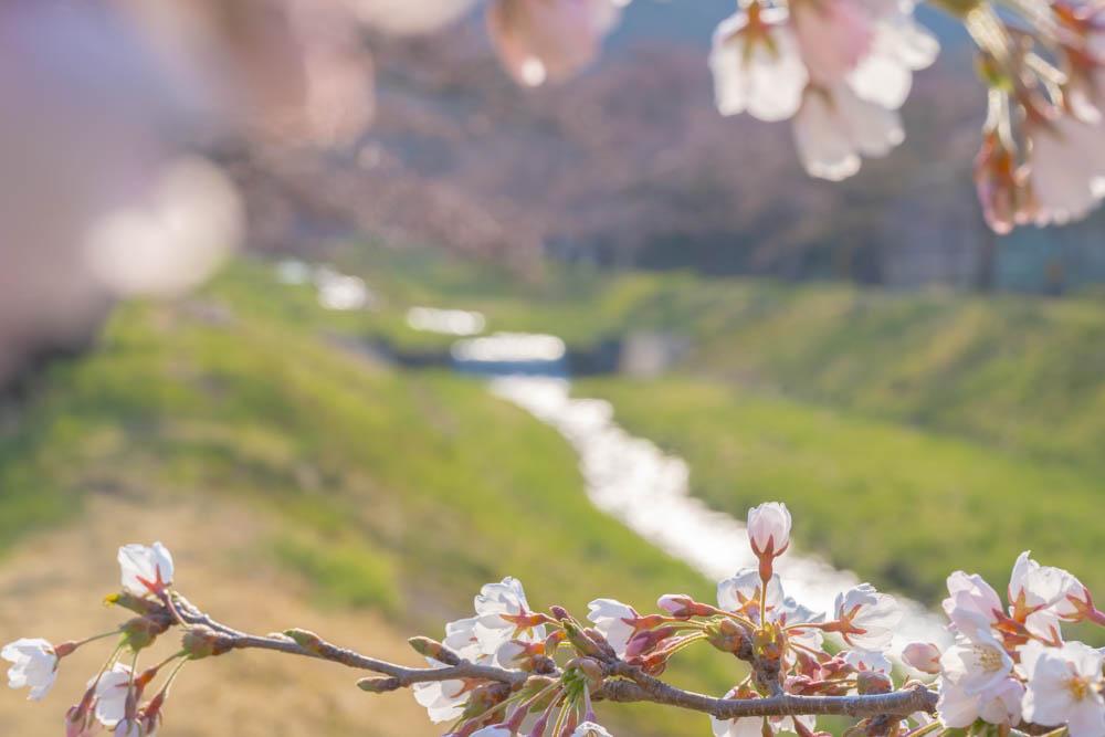 観音寺川の桜 撮影機材