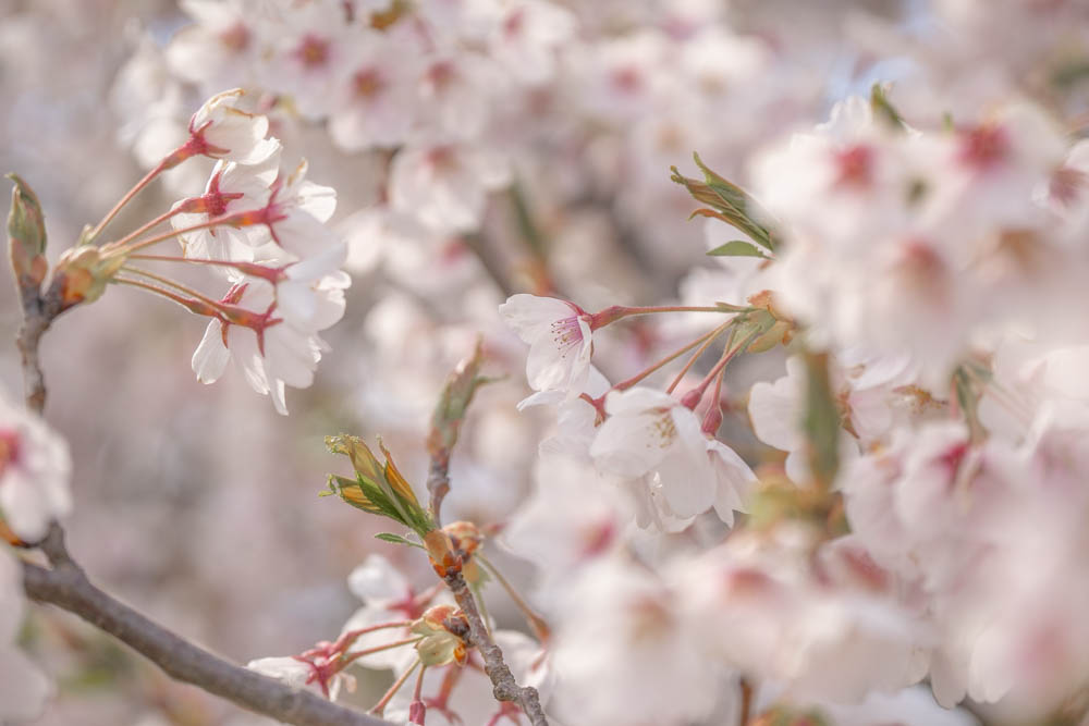 北上展勝地の桜 撮影のポイント