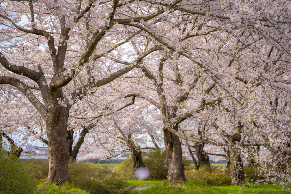 北上展勝地の桜 特徴とアクセス