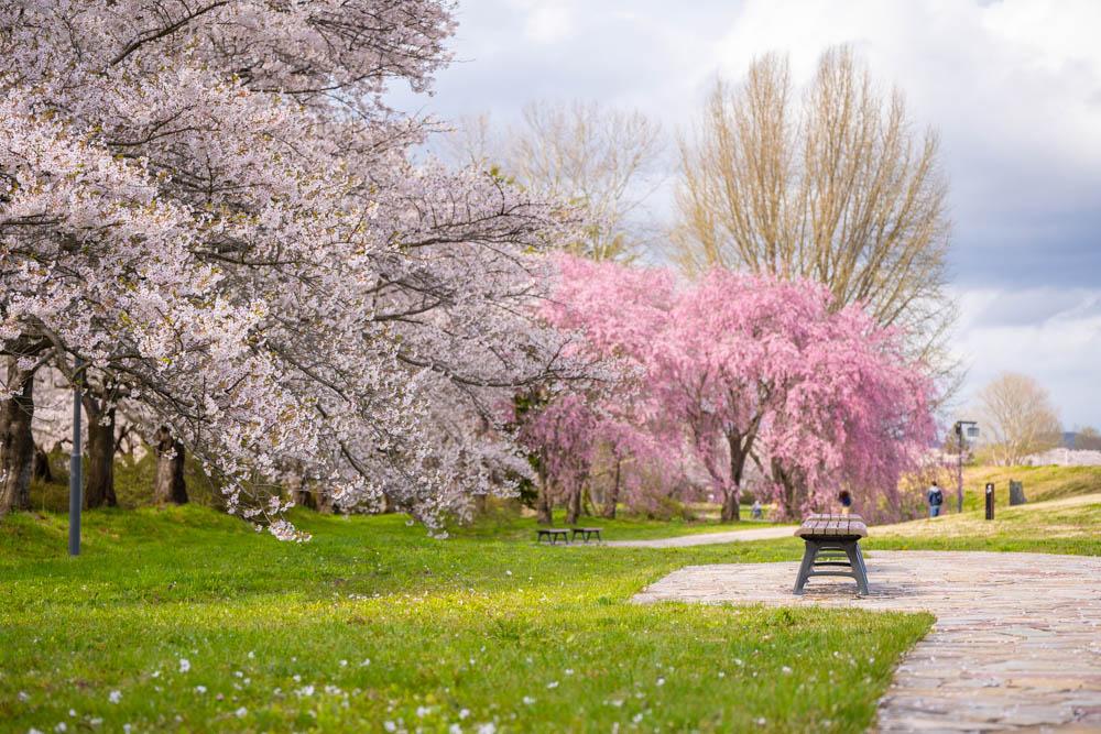 北上展勝地の桜 見頃と開花時期