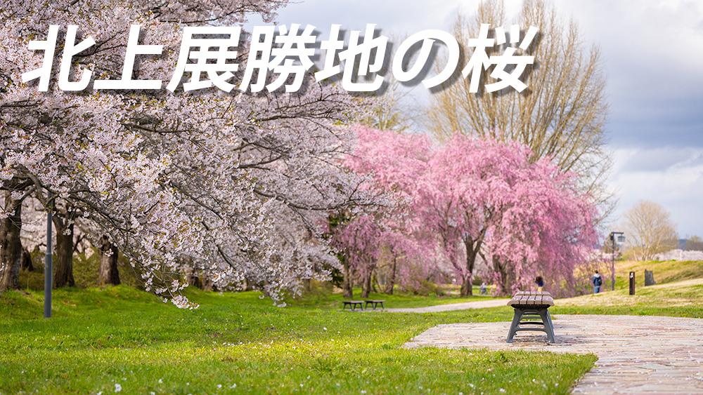 北上展勝地の桜 見頃や開花時期 アクセス