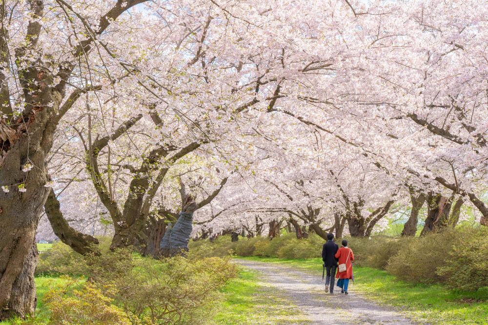 北上展勝地の桜 評価