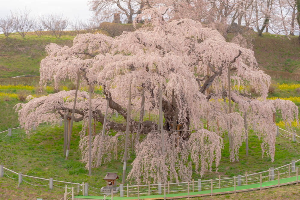 三春滝桜の撮影のポイント