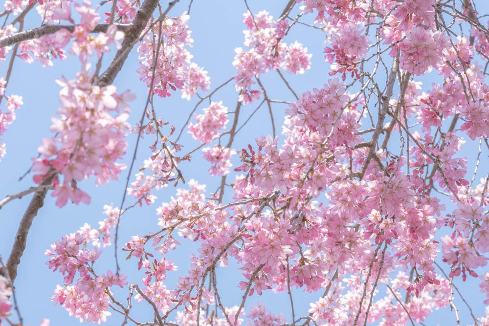 三春滝桜の特徴とアクセス