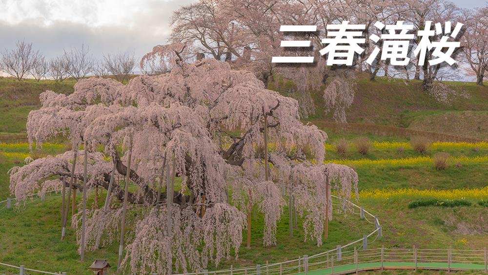 三春滝桜の見頃とアクセス