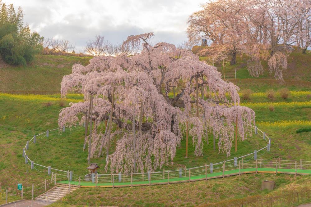 三春滝桜の評価