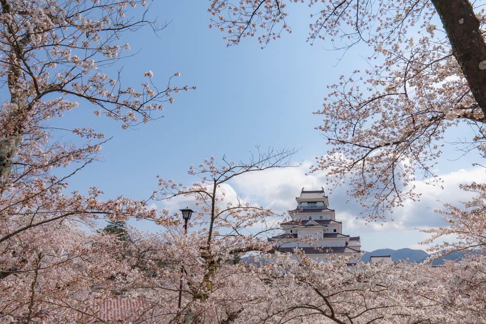 鶴ヶ城の桜 評価