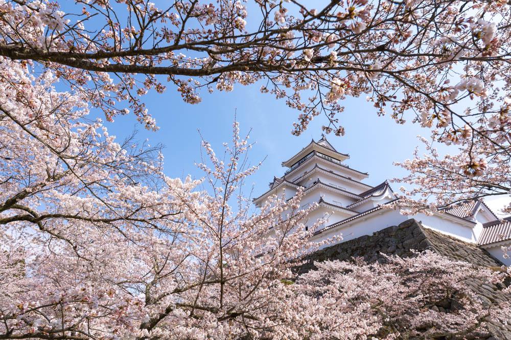見頃真っ只中の鶴ヶ城の桜開花状況