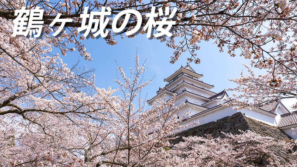 見頃の鶴ヶ城の開花状況