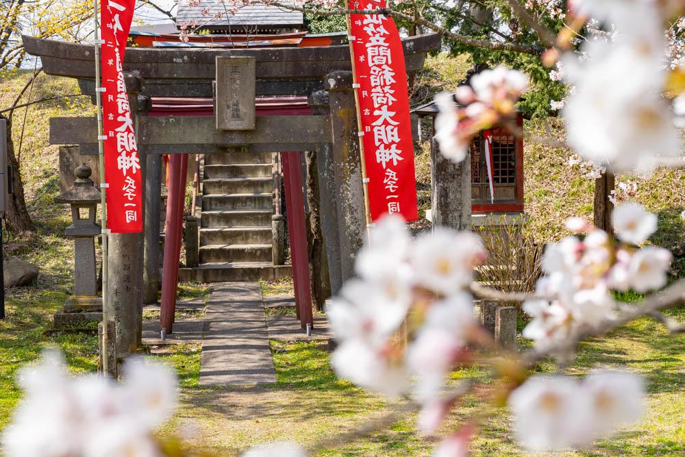 鶴ヶ城の桜 特徴