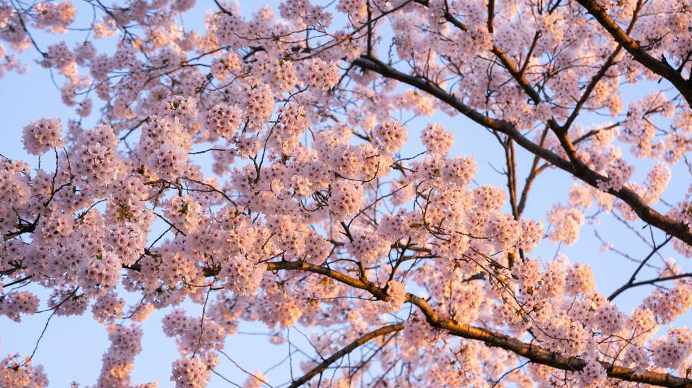 弘前城公園の桜 まとめ