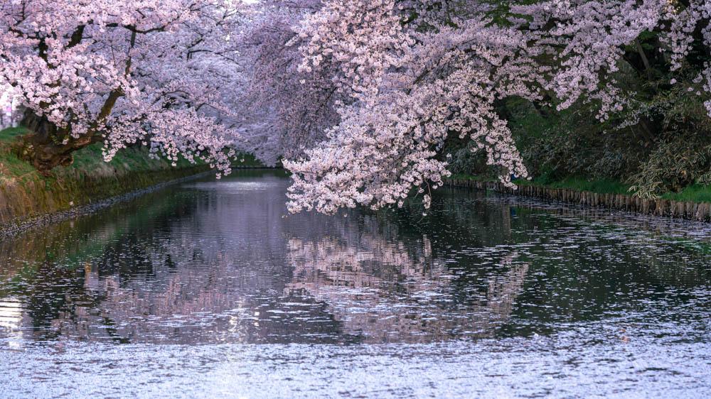 弘前城公園の桜 開花時期や見頃
