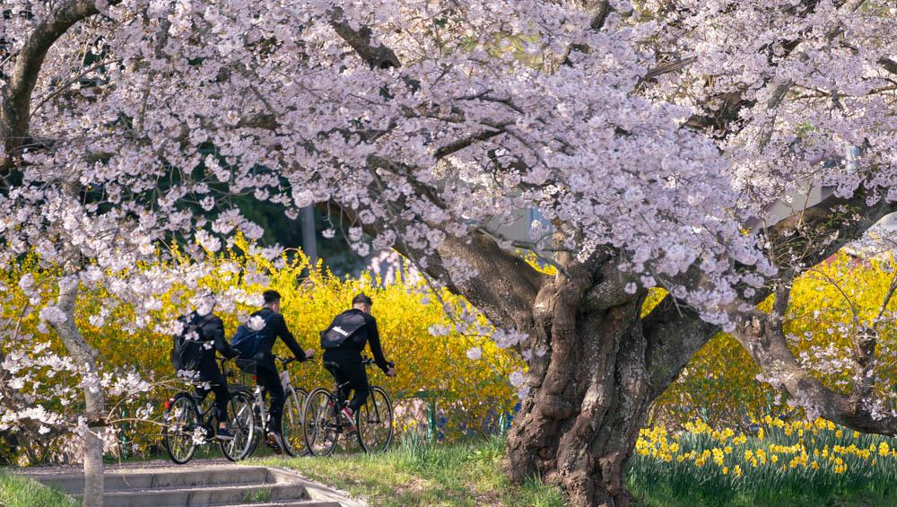 白石川一目千本桜のアクセス