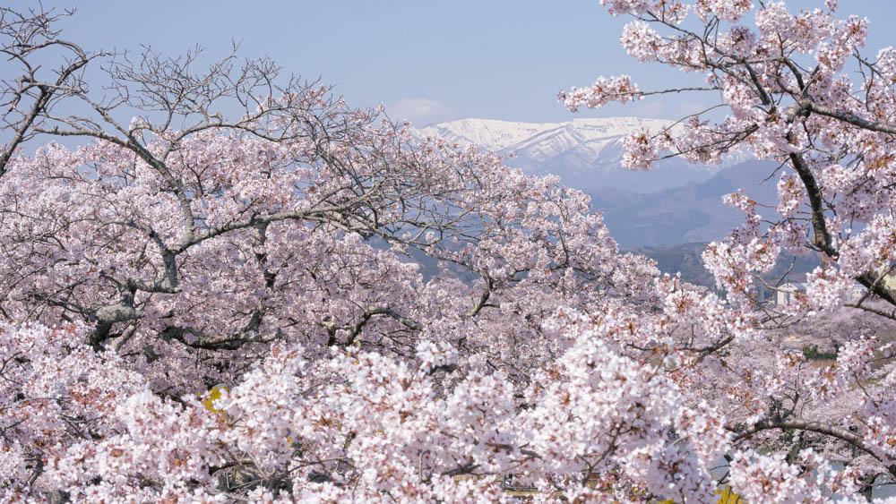 白石川一目千本桜の開花状況