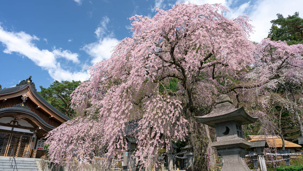 南湖公園の桜開花状況