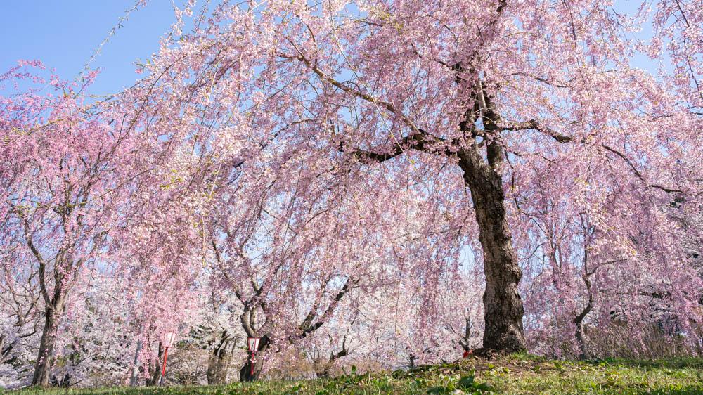 三戸城公園の桜 まとめ