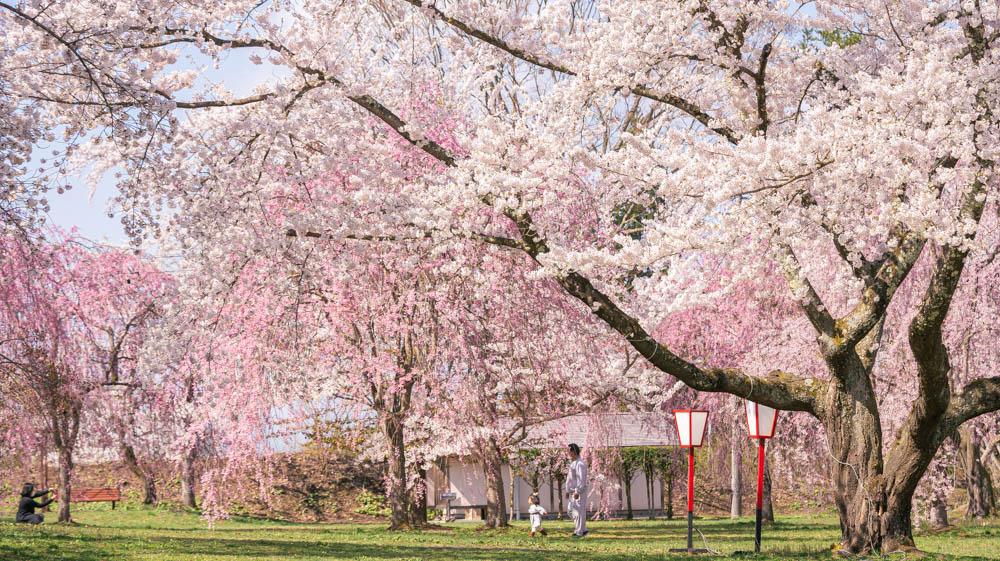 三戸城公園の桜が満開