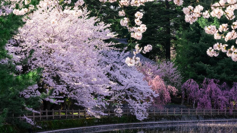猿賀神社の桜撮影機材