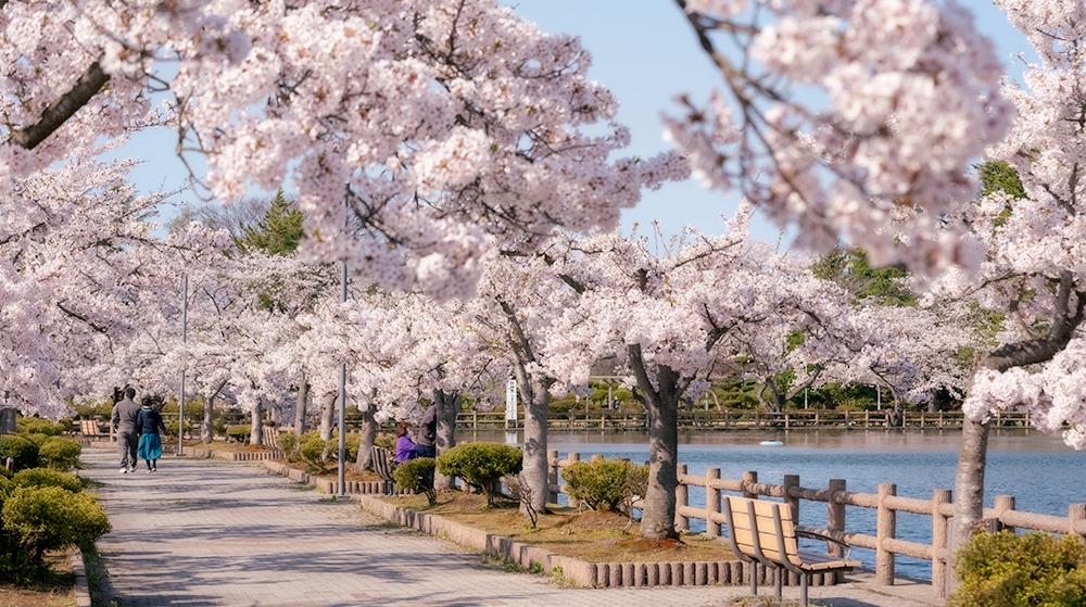 猿賀公園の桜見頃