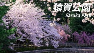 猿賀公園は桜と蓮の名所!【猿賀神社もセットで】