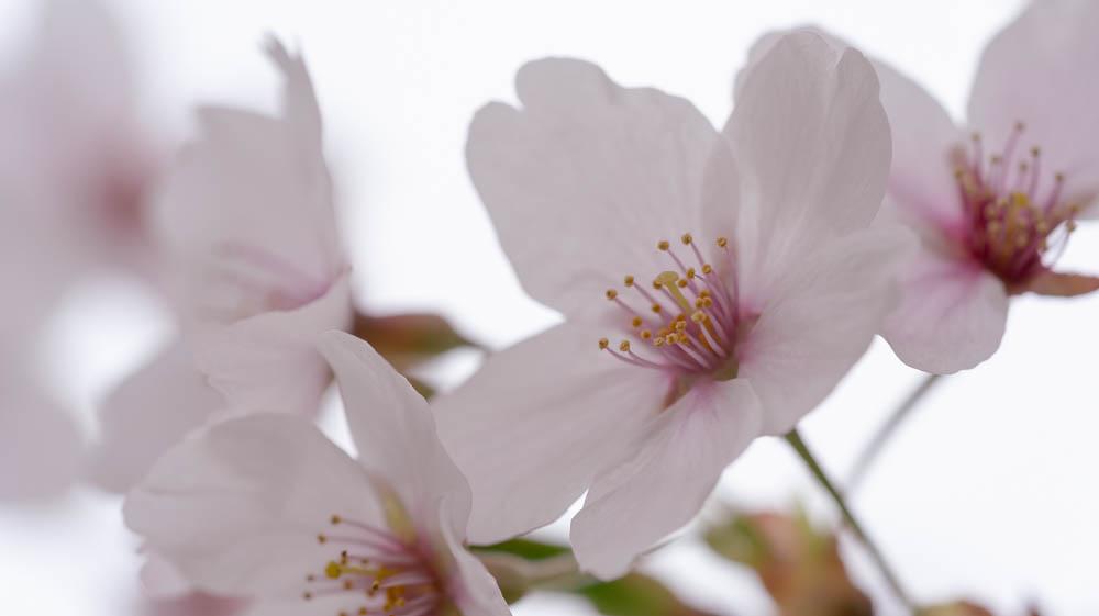 白石城の桜撮影ポイント