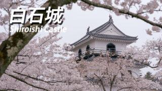 白石城の桜が満開!【開花状況を写真でお知らせ】