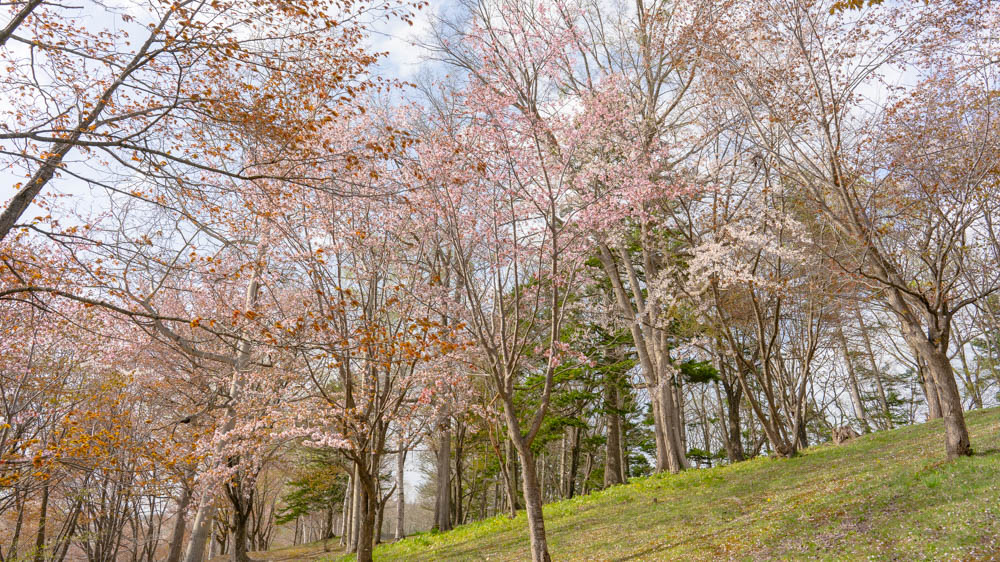 旭ヶ丘公園の桜