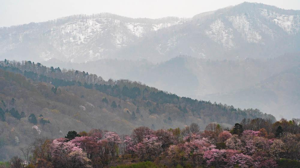 旭ヶ丘公園の桜 まとめとお土産