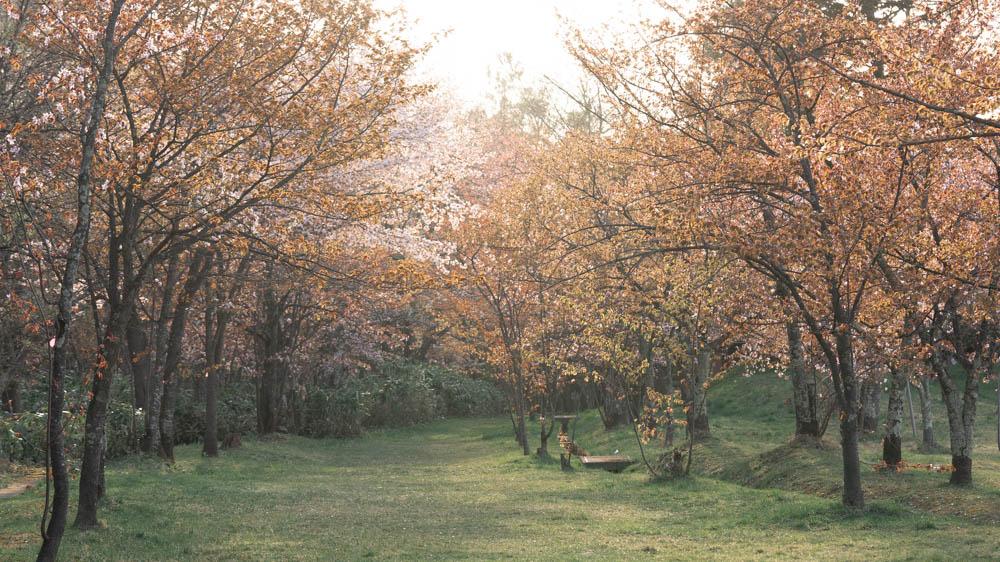旭山公園の桜 見頃やアクセス