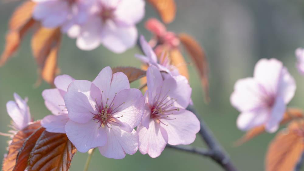 旭山公園の桜 まとめ