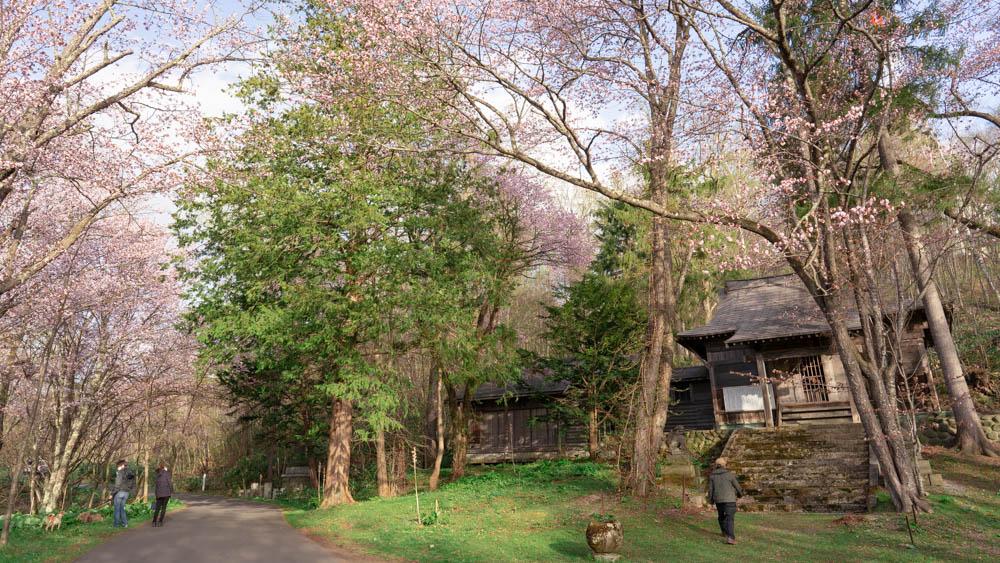 旭山公園の桜 イベントやライトアップはあるの?