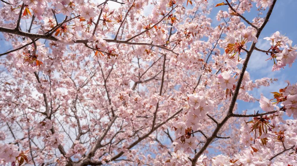 北海道神宮の桜 撮影のポイント