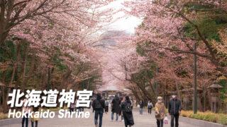 北海道神宮の桜見頃と開花状況【札幌観光】