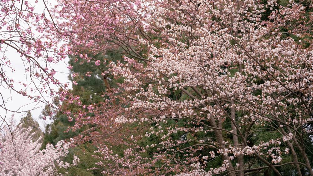 北海道神宮の桜 まとめとお土産