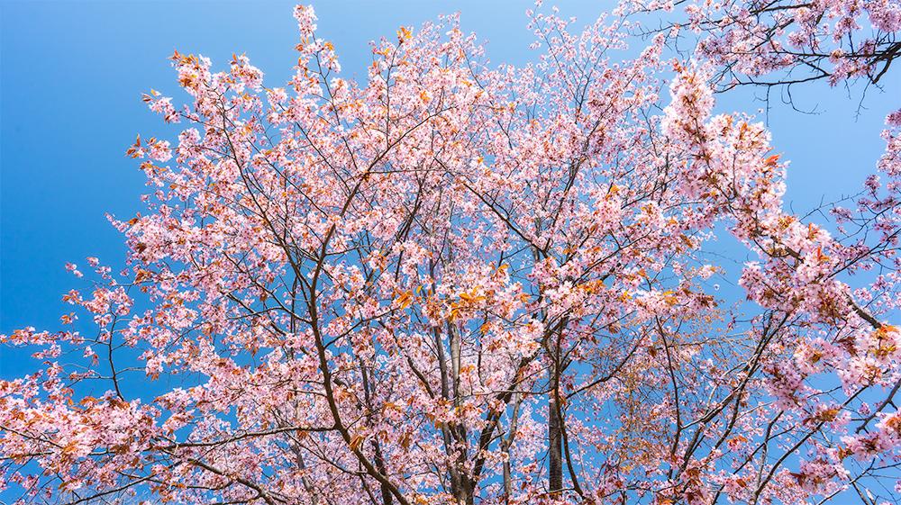 北見フラワーパークの桜 広角