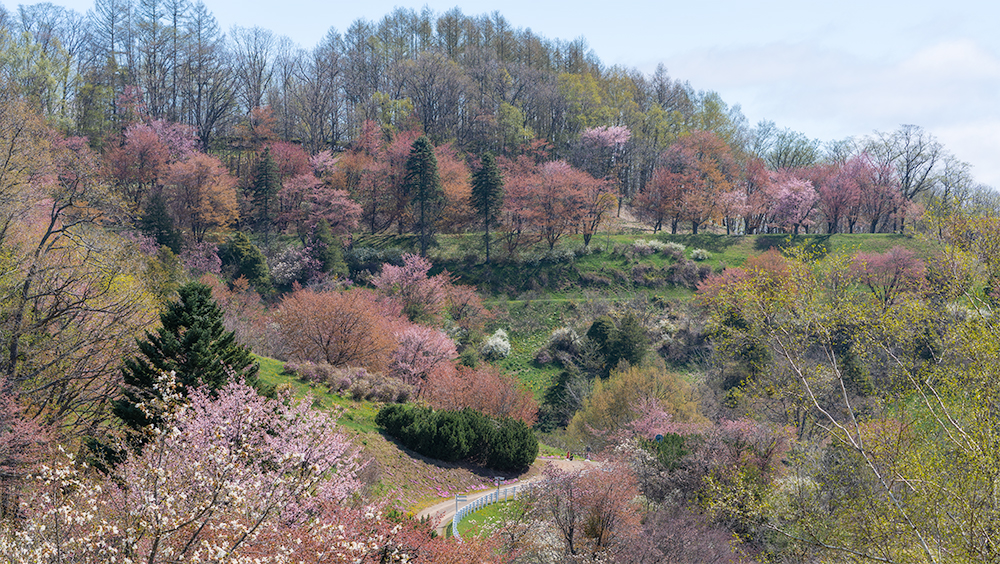 北見フラワーパラダイスの桜開花状況