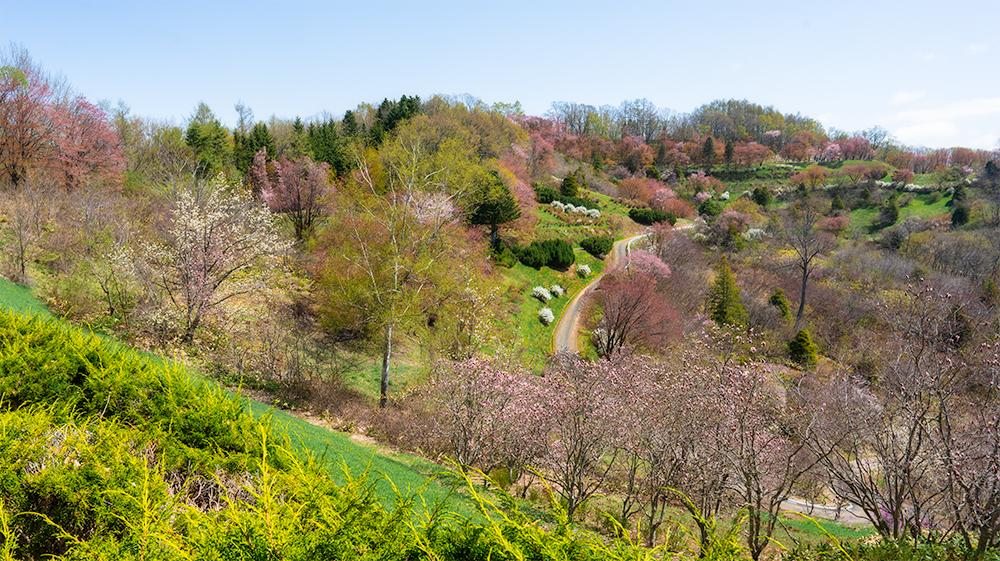 北見フラワーパラダイスの桜写真