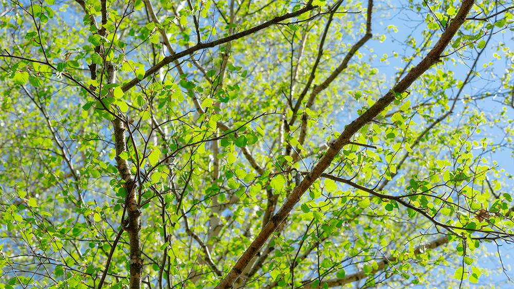 北見フラワーパークの新緑